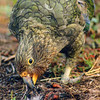 11001-72620 Kea or mountain parrot (Nestor notabilis) young bird eating a Hutton's shearwater chick it has killed. Upper Kowhai Stream, Seaward Kaikoura Range *
