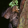 11001-75907 Morepork (Ninox novaeseelandiae novaeseelandiae) adult bringing freshly captured moth to nest in tree *