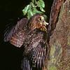 11001-75907 Morepork (Ninox novaeseelandiae novaeseelandiae) adult bringing freshly captured moth to nest in tree