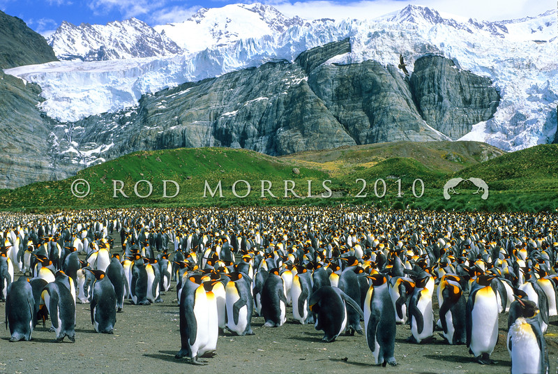 11001-24722  King penguin (Aptenodytes patagonicus) an occassional visitor to NZ's subantarctic islands. Our nearest breeding colonies are on Macquarie Island. This view is of a large colony on South Georgia