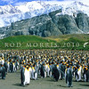 11001-24722  King penguin (Aptenodytes patagonicus) an occassional visitor to NZ's subantarctic islands. Our nearest breeding colonies are on Macquarie Island. This view is of a large colony on South Georgia *