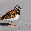 11001-56905 Ruddy turnstone (Arenaria interpres) adult in breeding plumage. Bowentown Beach *