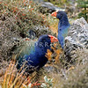 11001-51404 Takahe (Porphyrio hochstetteri) pair in sub-alpine vegetation in the Ettrick Burn, Murchison Mountains *