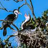 11001-33706 Pied shag (Phalacrocorax varius varius) adult pair displaying at nest
