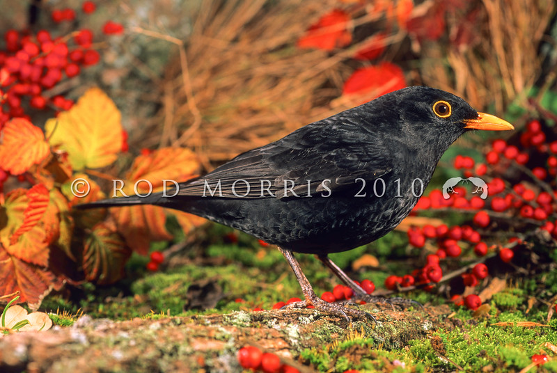 11001-79501 Eurasian blackbird (Turdus merula merula) adult male in summer. This introduced species is the most widely distributed bird in New Zealand, ranging from the coastline to at least 1500m a.s.l., and extending to many of our outlying sub-Antarctic islands *