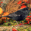 11001-79501 Eurasian blackbird (Turdus merula merula) adult male in summer. This introduced species is the most widely distributed bird in New Zealand, ranging from the coastline to at least 1500m a.s.l., and extending to many of our outlying sub-Antarctic islands.
