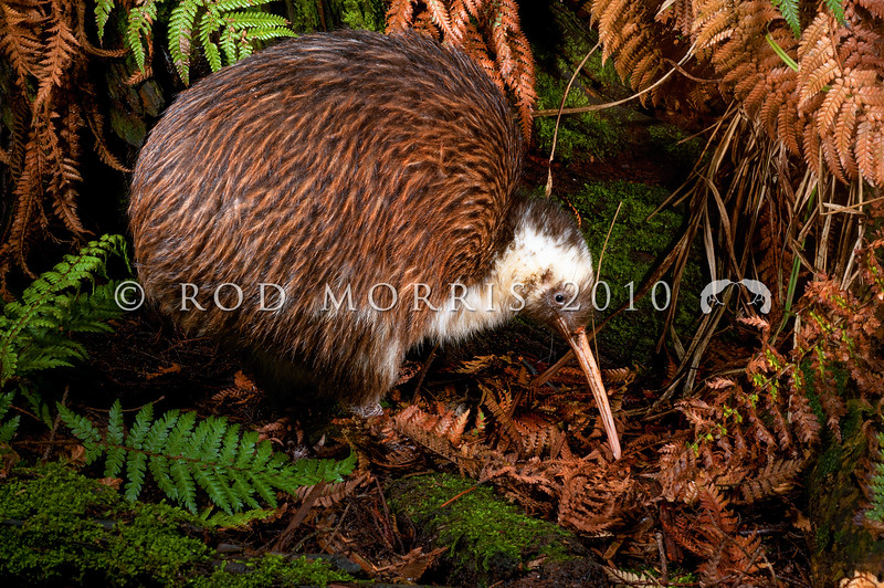 DSC_2343 Western brown kiwi (Apteryx mantelli) portrait of 'Whitehead' a 32 year old male. This bird with unusual white markings was caught as a juvenile in January 1981 in Te Wera Forest, Taranaki *