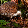 DSC_2343 Western brown kiwi (Apteryx mantelli) portrait of a male from Taranaki with unusual white markings *
