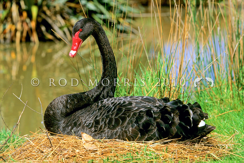 11001-39911 Black swan (Cygnus atratus) male on nest. A widespread and abundant Australian species found throughout NZ and the Chatham Islands. But fossil bones reveal NZ and the Chathams once had their own endemic black swan, 'pouwa' (Cygnus sumnerensis) separated by a lineage of one to two million years. The now extinct NZ swan is common in archaeological deposits. It was 20-30% heavier than the modern black swan, with shorter wings and longer stronger legs. *
