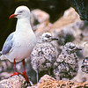 11001-63516  Red-billed gull (Chroicocephalus novaehollandiae scopulinus) adult in colony with two chicks. Taiaroa Head, Otago Peninsula *
