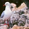 11001-63516  Red-billed gull (Chroicocephalus novaehollandiae scopulinus) adult in colony with two chicks. Taiaroa Head, Otago Peninsula *
