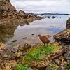 DSC_3343 Stewart Island weka (Gallirallus australis scotti) foraging for blue mussels on beach. Paterson Inlet, Stewart Island *