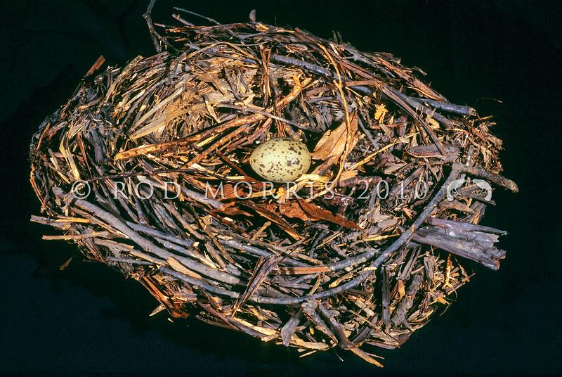 11001-88920 Huia (Heteralocha acutirostris) a well preserved nest held in Canterbury Museum.
