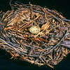 11001-88920 Huia (Heteralocha acutirostris) a well preserved nest held in Canterbury Museum *