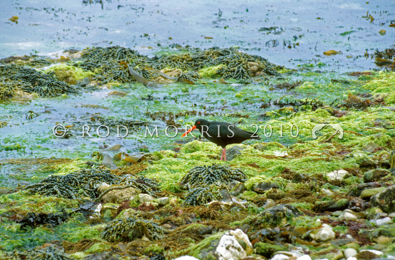 11001-53001 Variable oystercatcher (Haematopus unicolor) adult  on the shoreline, amongst sea lettuce (Ulva sp.) and neptunes necklace (Hormosira banksii). Wairepo Flats, Kaikoura