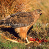 11001-45105 Swamp harrier (Circus approximans gouldi) on carrion. Clent Hills, Ashburton Lakes *
