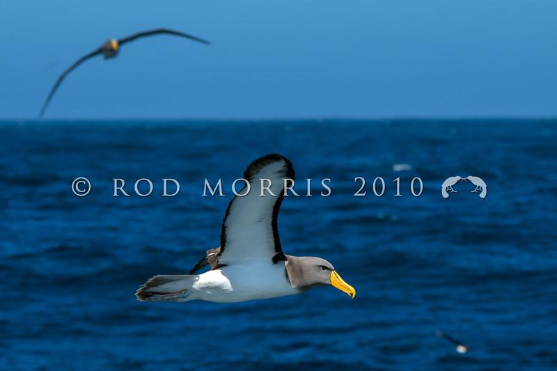 DSC_3035 Chatham Island albatross (Thalassarche eremita)  adults at  sea near Pyramid Rock, Chatham Islands *