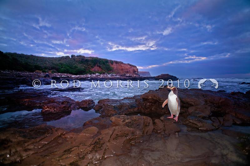 DSC_2105 Yellow-eyed penguin (Megadyptes antipodes) adult ashore on southern coast at dusk. Catlins *