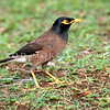 11001-87103 Common mynah. Auckland City *