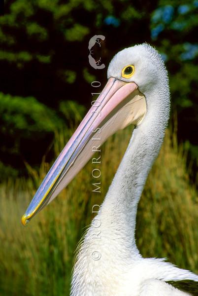 11001-31303 Australian pelican (Pelecanus conspicillatus) head of adult *