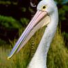 11001-31303 Australian pelican (Pelecanus conspicillatus) head of adult
