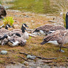 DSC_2537 Canada goose (Branta canadensis maxima) female and resting juveniles at lake edge. The most variable of all geese, and commonly divided into 12 different races. The New Zealand population derives from the largest race. Since their first introduction in 1905 (originally gifted by US President Theodore Roosevelt), farmers have denounced them as pests, because of damage to pasture and crops. Lake Te Anau, Fiordland *