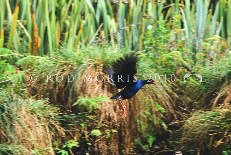 11001-50901  Pukeko (Porphyrio melanotus melanotus) flying in swamp. Western Springs, Auckland *