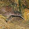11001-03205 Stewart Island brown kiwi, or tokoeka (Apteryx australis lawryi) female leaving her burrow in the dunes