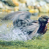 11001-42013  Blue duck (Hymenoliamus malacorhynchos) male bathing mid-river in the Clinton Valley