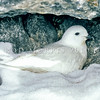 11001-17311  Greater snow petrel (Pagodroma nivea major) on nest in rock crevice. East Antarctica
