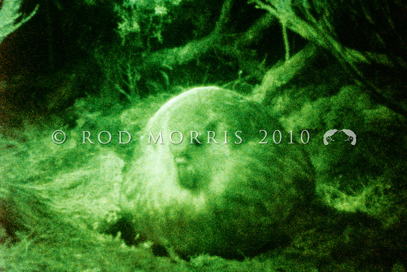 11001-70917  Kakapo (Strigops habroptilus) view through a 'night vision' camera of a Stewart Island  male booming on Arena Ridge after dark *