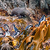 DSC_0195 Snares crested penguin (Eudyptes robustus) view of birds coming ashore through kelp and past a bull furseal, Snares Island *