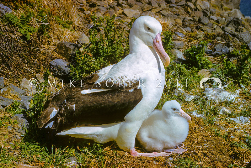 11001-08019 Northern Royal albatross (Diomedea sanfordi) adult with small downy chick at nest. Taiaroa Head, Otago Peninsula *