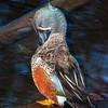 DSC_2607 Australasian shoveller (Anas rhynchotis) male in breeding plumage preening. Waikato *