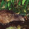 11001-01903  Eastern brown kiwi (Apteryx mantelli) fishing *
