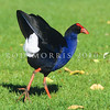 11001-51003  Pukeko (Porphyrio melanotus melanotus) submissive adult display. Western Springs, Auckland *