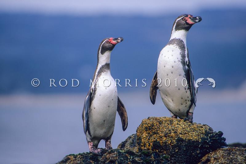 11001-30308  Peruvian penguin (Spheniscus humboldti) two birds ashore *