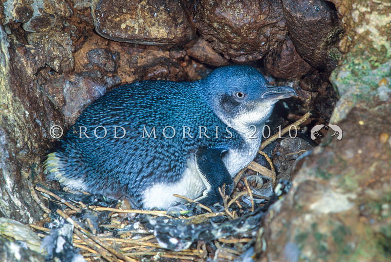 11001-27712 Little blue penguin (Eudyptula minor) female incubating eggs. Green Island *
