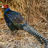 """11001-47322 Common pheasant (Phasianus colchicus mut. tenebrosus) a popular introduced gamebird. a popular introduced gamebird. Pheasants in NZ are of mixed ancestry, and are a hybrid blend of English blackneck (Phasianus colchicus colchicus), Chinese ringneck (Phasianus colchicus torquatus), and Mongolian pheasant (Phasianus colchicus mongolicus). Although """"pure"""" specimens, don't occur, this male most resembles the 'melanistic mutant' form of the English (black-necked) subspecies *"""