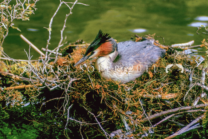 11001-06207 Australasian crested grebe (Podiceps cristatus australis) adult on nest. Lake Fergus, Fiordland