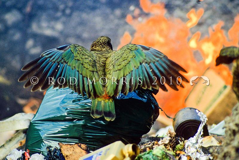 11001-72613 Kea or mountain parrot (Nestor notabilis) scavenging in burning tip. Arthurs Pass *