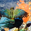 11001-72613 Kea or mountain parrot (Nestor notabilis) scavenging in burning tip