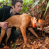 DSC_1269  Okarito brown kiwi or rowi (Apteryx rowi) DoC officer Iain Graham and kiwi dog Rein check out a burrow *