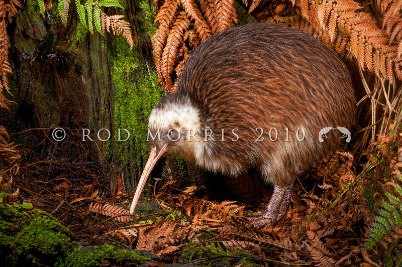 DSC_2358 Western brown kiwi (Apteryx mantelli) portrait of 'Whitehead' a 32 year old male. This bird with unusual white markings was caught as a juvenile in January 1981 in Te Wera Forest, Taranaki *