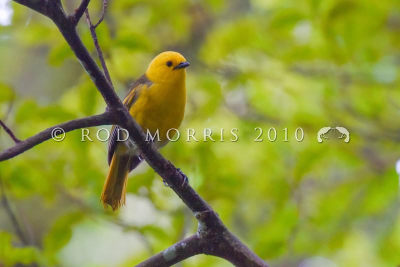 DSC_8679 Yellowhead, or mohua (Mohoua ochrocephala) male in mixed beech/podocarp forest. Chalky Island, Fiordland National Park *
