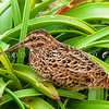 DCS_0134 Auckland Island snipe (Coenocorypha aucklandica aucklandica) adult in Bulbinella meadow. Enderby Island, Aucklands Group
