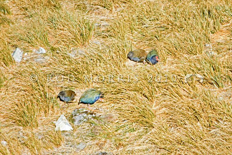 11001-51409 Takahe (Porphyrio hochstetteri) a wild family in late summer with two chicks is a rare sight. Each adult is still responsible for gathering most of the tussock tillers that feed the two large chicks. Miller Peak, Murchison Mountains