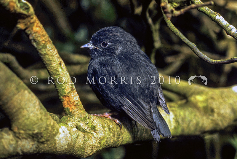 11001-82018 Black robin, or kakaruia (Petroica traversi) one of two fledglings produced in October 1973 by the 'south east' female, who later became known as 'old blue'. Just out of the nest, the chick perches in a sunny clearing in the Myrsine forest on Little Mangere *