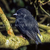 11001-82018 Black robin (Petroica traversi) one of two fledglings produced in October 1973 by the 'south east' female, who later became known as 'old blue'. Just out of the nest, the chick perches in a sunny clearing in the Myrsine forest on Little Mangere