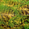11001-71230 Kakapo (Strigops habroptilus) detail of plumage.